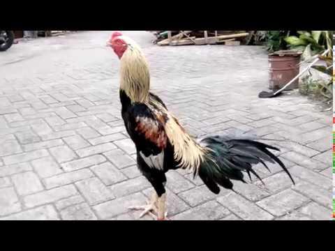 Foto Ayam Wido Cempaka Warna Ayam Jalak Emas Youtube