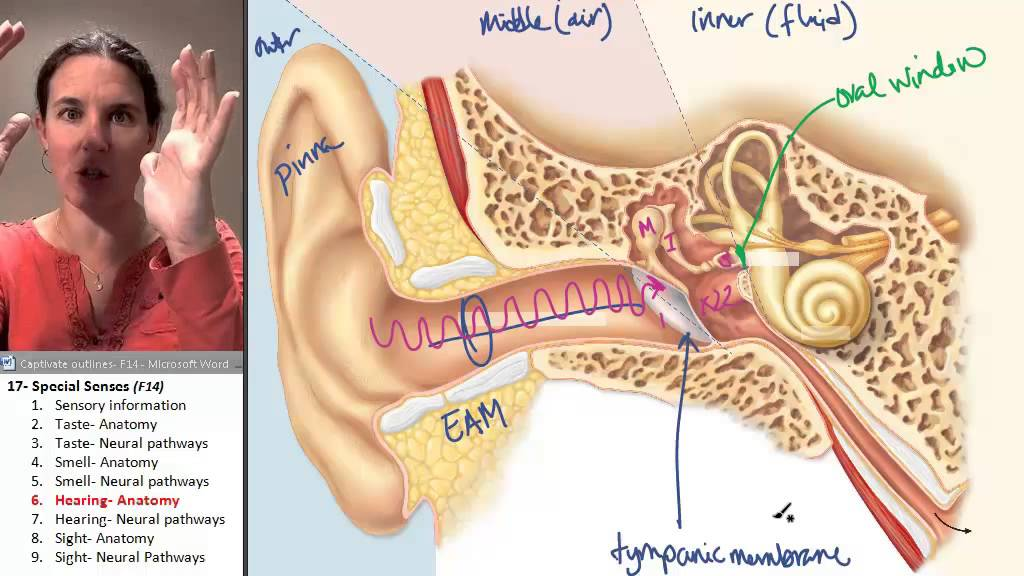 Special Senses 6 Ear Anatomy Youtube