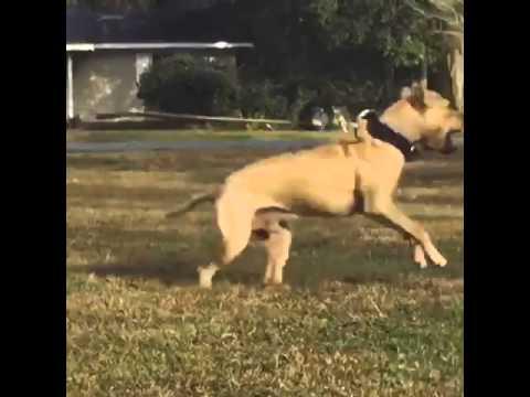 Jeep/redboy American Pitbull terrier | Doovi