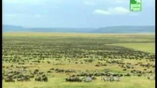 Миграции животных.wmv