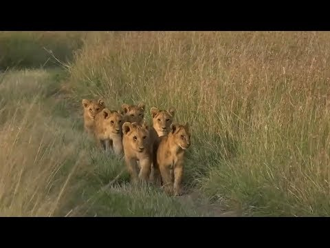 SafariLive Big cat moments. Lion cubbies!