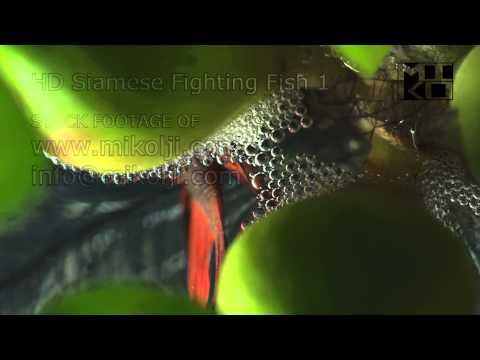 Siamese Fighting Fish HD Stock Video Footage 1