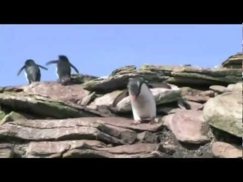 Dance of the Southern Rockhopper Penguins