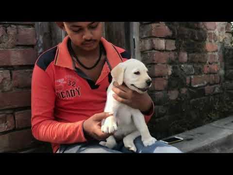 45 days old Labrador puppy 🐕 ki food & bite details