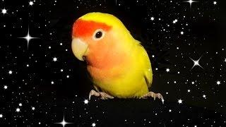 How to clip/trim a lovebird