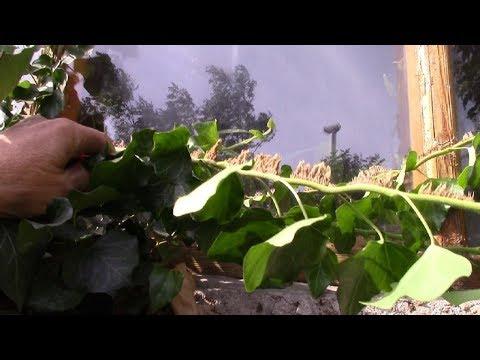 Плющ вечнозелёная стенка.   Быстро ли растёт плющ?