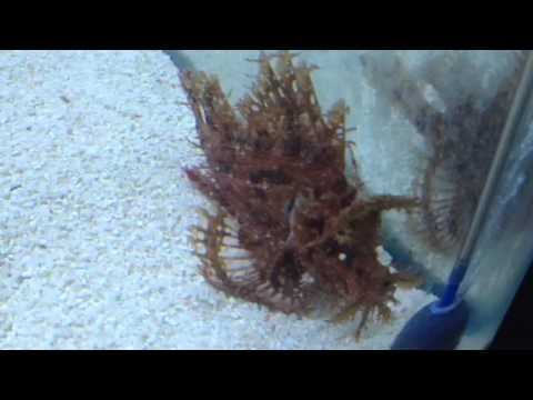 Rhinopias Frondosa Weedy Scorpion Fish