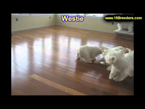 Westie, Puppies, For, Sale, In, South Bend, Indiana, County