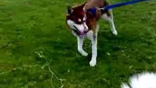 Scottish Siberian Husky Club Day
