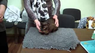 Бурманская породы кошек (бурма) системы PCA