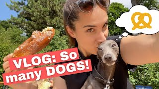 VLOG: Italian Greyhound meets OTHER DOGS!