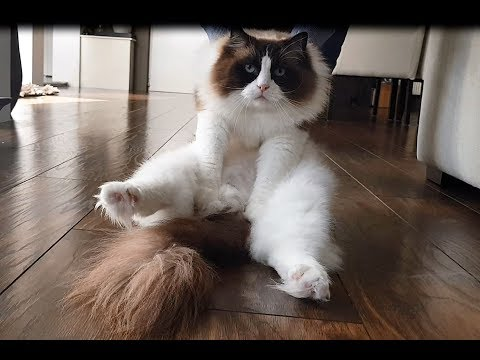 This Fluffy Cat Is Too Lazy To Walk  (Timo the Ragdoll Cat)