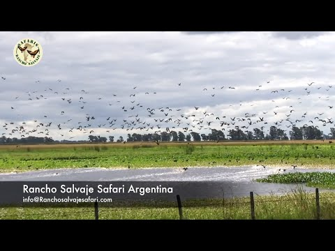 Ducks Hunting In Argentina