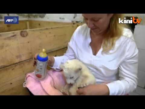 Dua anak singa putih lahir di Zoo Belgrade