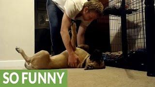 Stubborn Bull Mastiff puppy refuses to go to bed