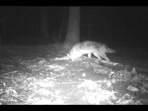 Coyote bait and lure test part 1f youtube coyote bait and lure test part 1f sciox Image collections