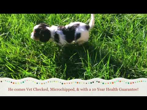 Duncan, The Cavalier King Charles Spaniel Puppy For Sale In NC