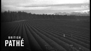 Tea Is Grown On Collective Farm In Russia (1960)