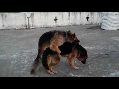 German Shepherd matting