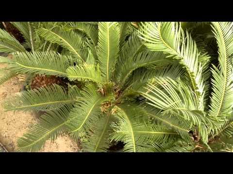 أجمل الأشجار (نخيل السيكوس) - Gulf Plants