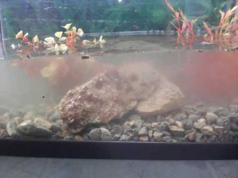 comment faire un aquariums pour des ecrevisse youtube. Black Bedroom Furniture Sets. Home Design Ideas