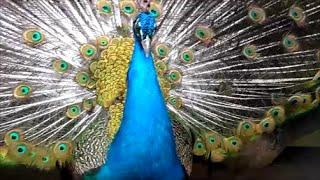Павлин раскрыл хвост Peacock bird Жар птица