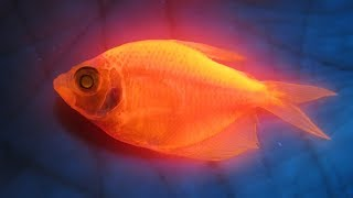 Рыбы в ультрафиолете