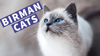 Cute Birman Cats Playing and Meowing | Lovely Birman Kittens Compilation!