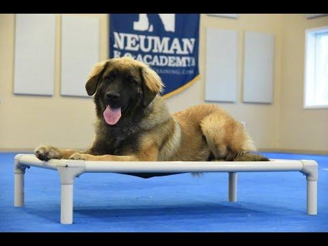 Hazel (Leonberger) Boot Camp Dog Training Video Demonstration
