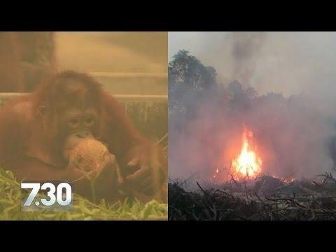 Indonesia's smoke haze threatens children, orangutans