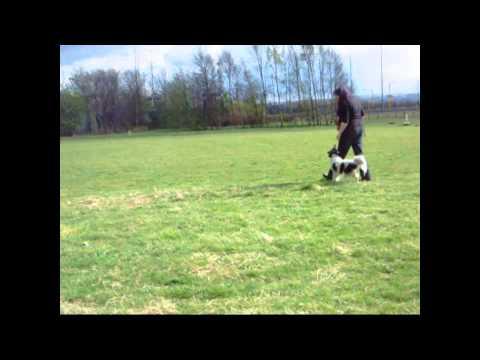 Dog Agility Training Without Equipment Pt1