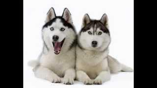 ТОП -10 Самых красивых пород собак