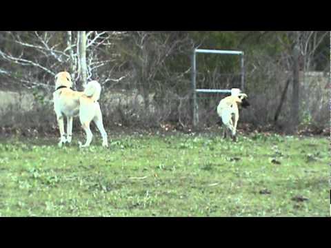 Boz Shepherds and Kangal Guarding Livestock