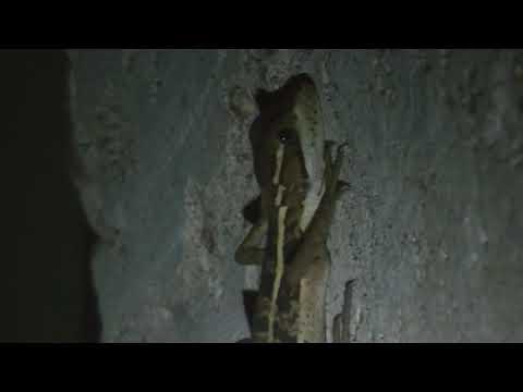 Gecko Lizard in Santa Marta, Belize