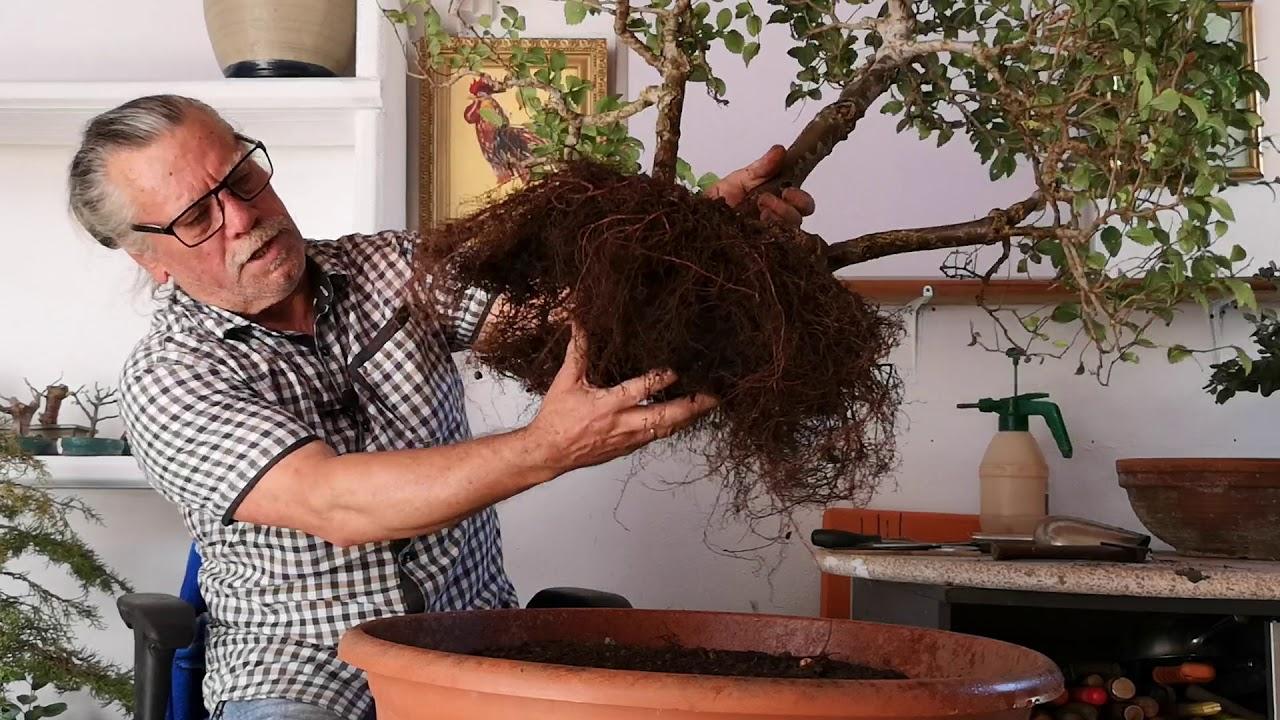 Agrupacion De Olmos 3r Quitar Un Arbol Del Grupo Jardin De Bonsai De Antonio Ruiz Youtube