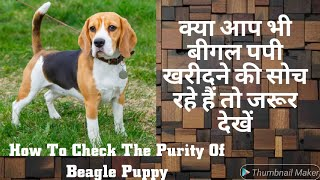 Cute and Adorable Beagle Puppy || Beagle Dog Purity || Beagle Price In India