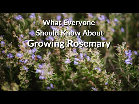 Wonderful Rosemary: Care Tips, Uses & What You Need To Know / Joy Us Garden