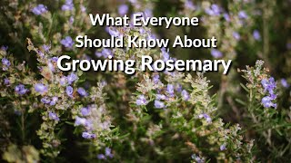 Wonderful Rosemary: Care Tips, Uses & What You Need To Know