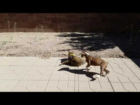 4k! Boxer puppy picking on bengal cat