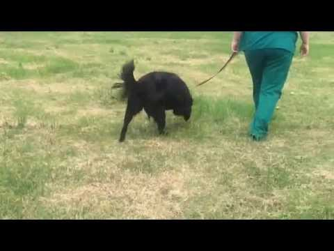 Ember - black flat coat retriever for adoption