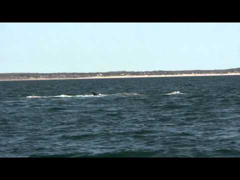 Breaching Northern Right Whale