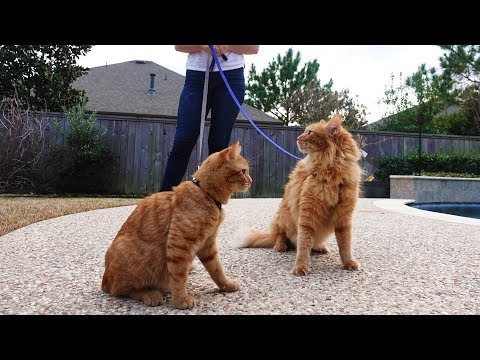 download TAKING MY CATS FOR A WALK!!