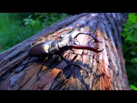 ЖУК- РОГАЧ. Ползает и взлетает. Чудо природы. Самый крупный жук Европы.