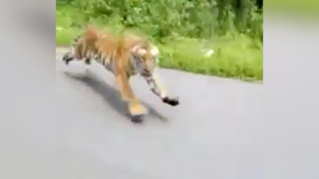 Terrifying Moment: Two Motorcyclists Chased By BIG ASS TIGER In India. WHOE!!!