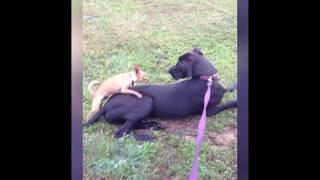 Собаки домагаются ко всему что движется!!!!!!!! Забавные моменты с собаками.