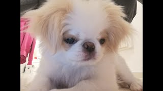 Japanese Chin 12 week barking ( Spaniel japonès ) ( 日本 狆 )