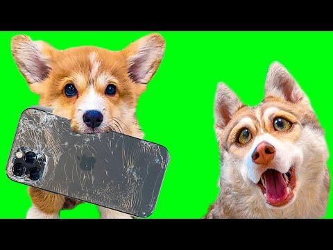ЩЕНОК КОРГИ СОЖРАЛ АЙФОН 12!! (Хаски Бублик) Говорящая собака Mister Booble