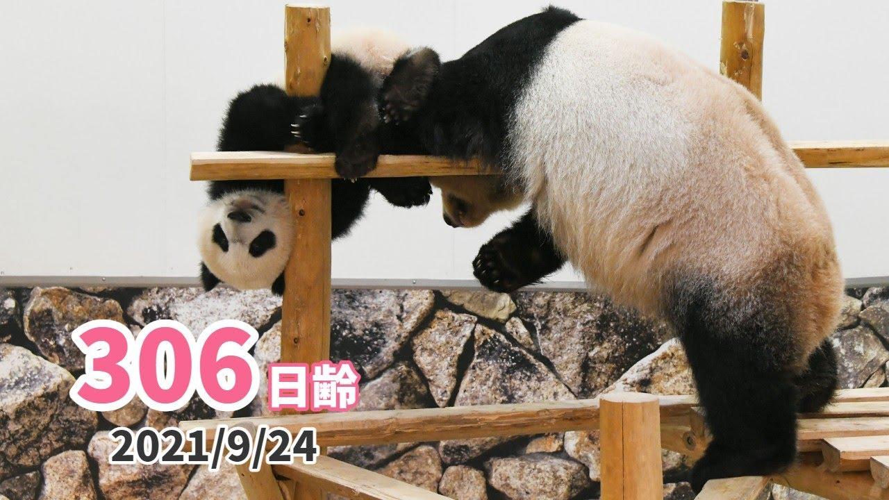 【パンダの赤ちゃん(楓浜)】白黒つかない頂上決戦!(306日齢)