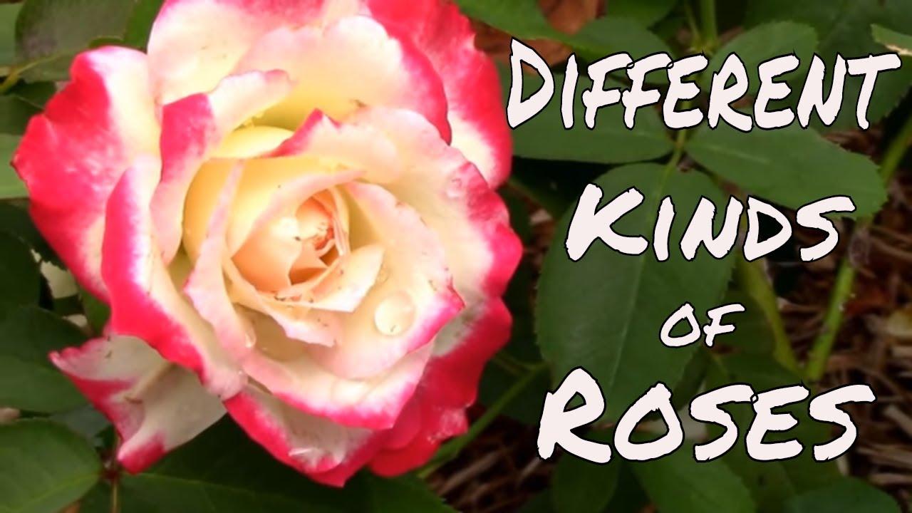 Different Types of Roses. Hybrid Tea, Floribunda, and ...