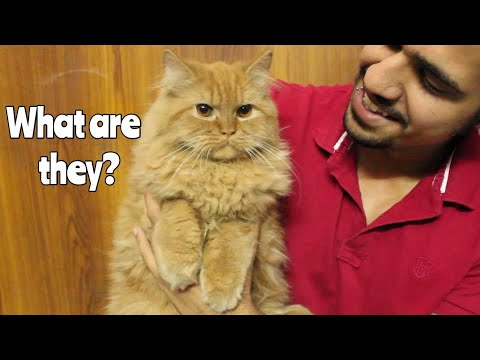 Having Persian Cat in India | All you should know | Wildly Indian